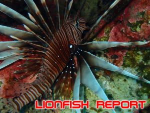 THE LIONFISH INVASION IN TURKEY, WHY TO WORRY AND HOW TO HELP: LESSONS LEARNED FROM THE CARIBBEAN INVASION.