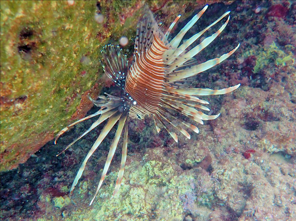 Lionfish in the Mediterranean off the coast of Turkey