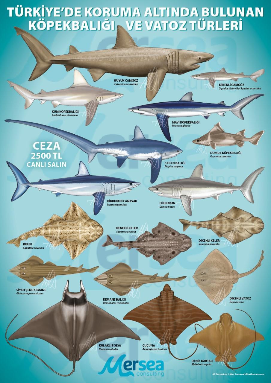 Protected Sharks of Turkey Aylin Ulman