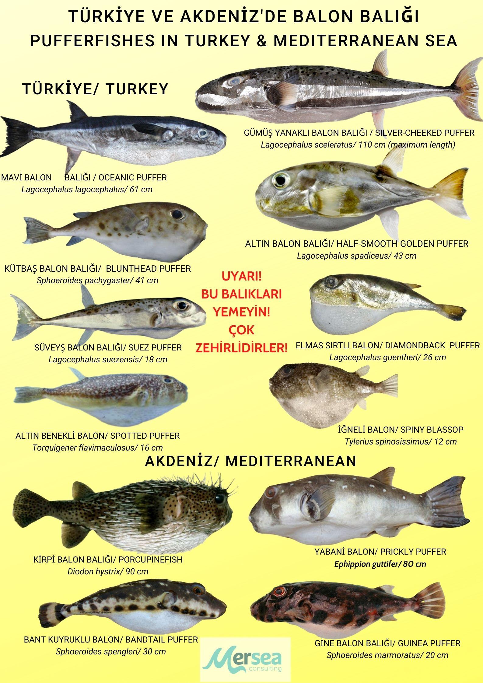 Pufferfish Turkey